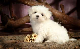 Hd animal wallpaper with a cute little maltese dog posing for the