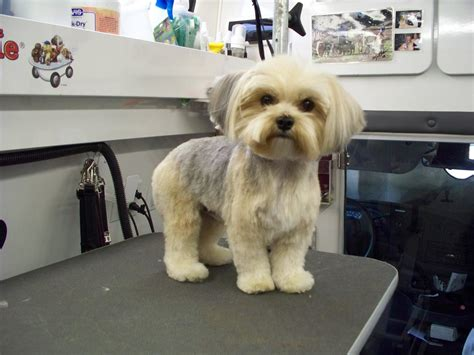 morkie haircuts pictures morkie dog puppy cut haircut