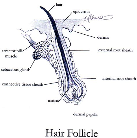 hair sensory hairs definition of sensory hairs by the skin and sensory receptors