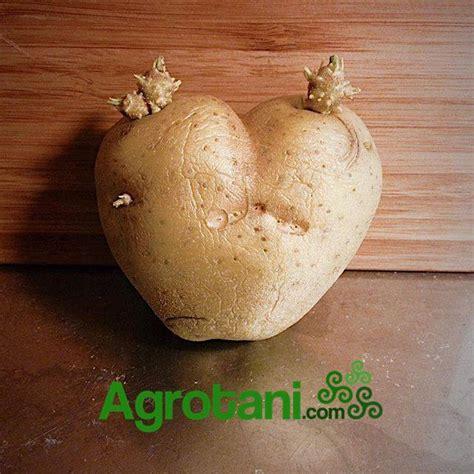Bibit Kentang tips memilih umbi untuk bibit kentang