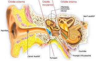 al l oreille externe moyenne et