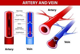 what color is blood in your veins why is blood taken from veins and not arteries 187 science abc