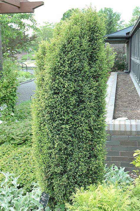 gold cone juniper juniperus communis gold cone