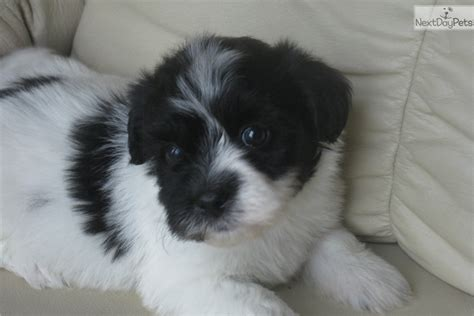 havanese puppies buffalo ny havanese puppy for sale near buffalo new york 3d4f30dd 7ea1