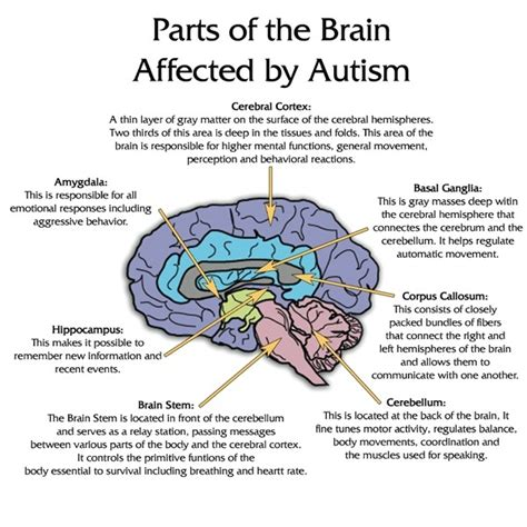 sections of the brain and what they do autism spectrum disorder asd