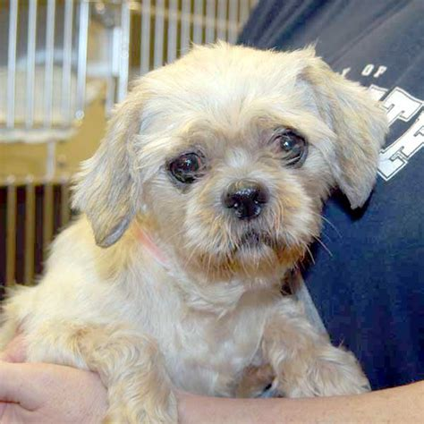 shih tzu and furbabies shih tzus furbabies dedicated to rescue rehabilitation and shih breeds picture