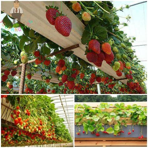 rare giant red strawberry plants climbing edible