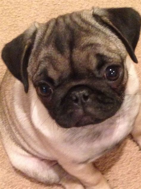 3 month pug puppy fawn pug 3 months micro chipped vaccinated crawley west sussex pets4homes