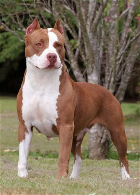 a pit american pitbull terrier animals wiki pictures stories