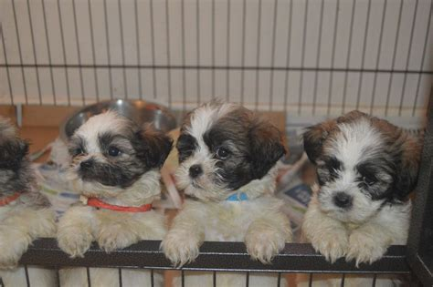 zuchon puppies gorgeous shichon zuchon boy and puppy andover hshire pets4homes
