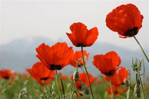 fiore di papavero i fiori di papavero dai mille usi itaeuropaunita