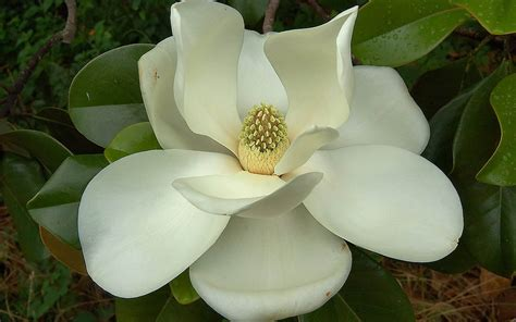 Magnolia Wallpaper | wallpapers southern magnolia flower wallpapers