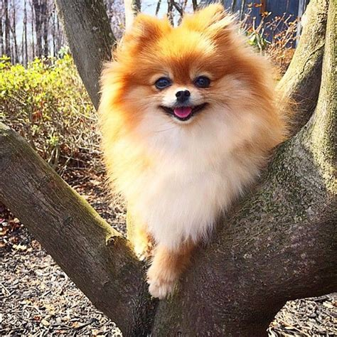 throwback pomeranian puppies for sale 1801 best images about pomeranians on