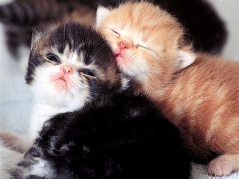 download wallpaper anak gaul gambar anak kucing persia lucu car interior design