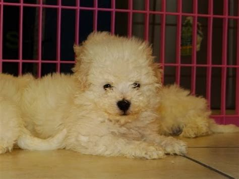 bichon frise puppies for sale ohio bichon frise puppies for sale in cincinnati ohio oh westerville huber heights