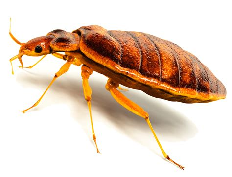 dead bed bug images bedbugheaderimage