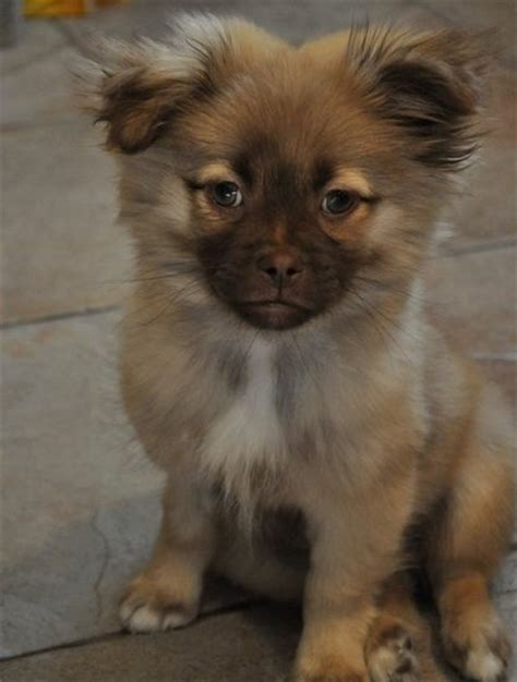 pomeranian and shih tzu mix pomeranian shih tzu mix puppy