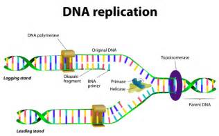 Dna Replica Lynch Genetics Home Reference