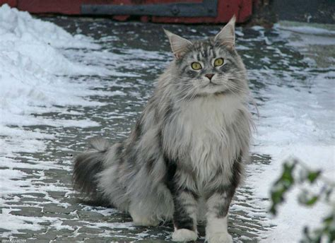 9 cat breeds that love water ? Adventure Cats