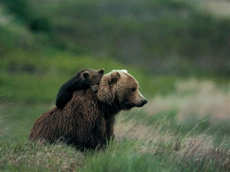 grizzly bear cubs playing grizzly bear cubs www imgkid com the image kid has it