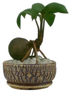 Coco Interior Coco Bonsai Just Another Ornamental Pot Plant
