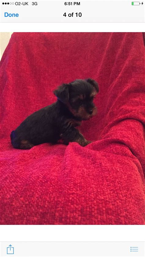 puppy vaccines for sale terrier puppies for sale 1 vaccine done wickford essex pets4homes