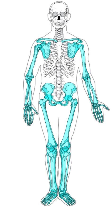 appendicular skeleton diagram appendicular skeleton diagram clipart best