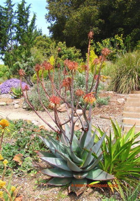 Uc Botanical Garden Berkeley Plantfiles Pictures Aloe Species Aloe Capitata Var Quartziticola By Kell