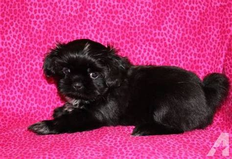 all black shih tzu for sale black black shih tzu puppy for sale in burleson classified