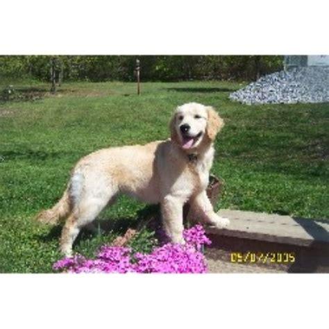 hilltop golden retrievers hilltop golden paws golden retriever breeder in duncansville pennsylvania listing