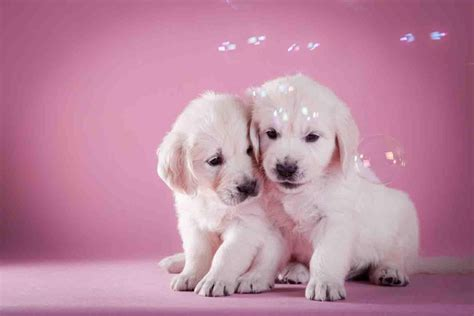 puppies background puppy background hd backgrounds pic