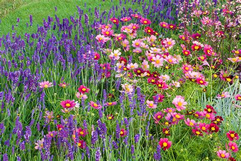 annual perennial flower garden with pink and red cosmos