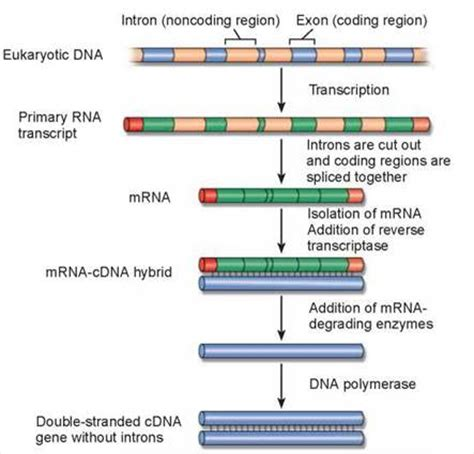 Many Rna Molecules From Eukaryotic Genes Sections Called by A Scientific Revolution The New Biology The Continuity
