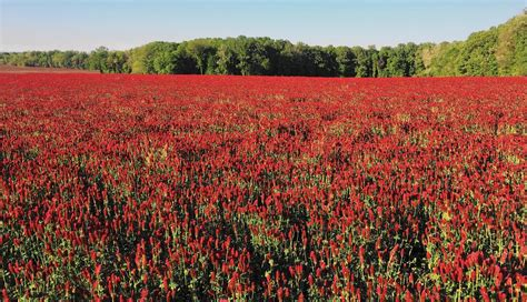Pictures Of Crimson Clover crimson clover and on 200 acres near bel