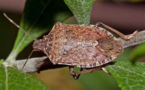how to get rid of stink bugs using repellents and traps
