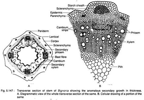 transverse section of a monocot leaf essay on monocot and dicot stem stem plant anatomy