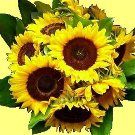 fiori di girasole fiore di girasole