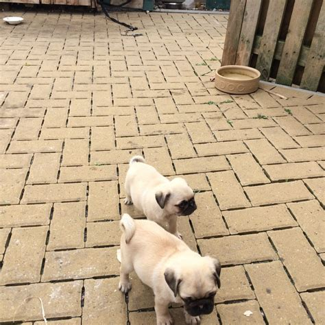 pugs for sale west pugs for sale tipton west midlands pets4homes