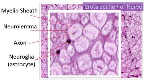 tissue section nervous tissue scientist cindy