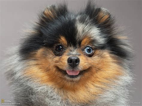 german pomeranian how to build a photo gallery pictures more from national geographic magazine