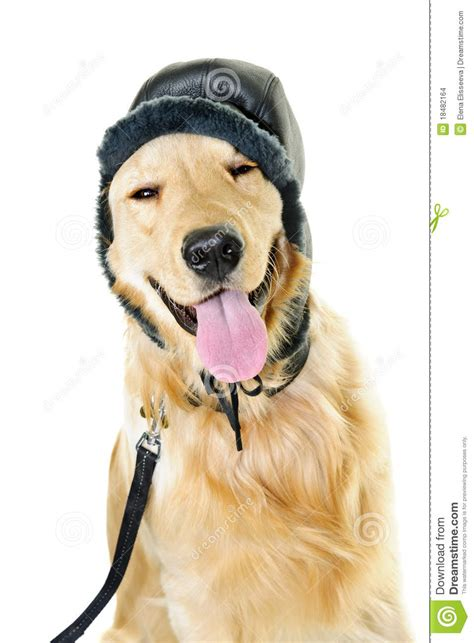 puppy golden retrievers with hats on golden retriever wearing winter hat stock images image 18482164