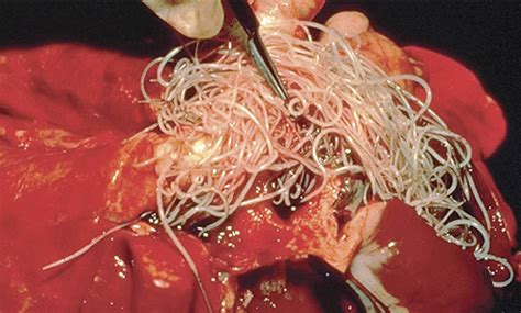 what causes heartworms in dogs heartworm prevention for your pets vetaround mobile vet sydney vet around
