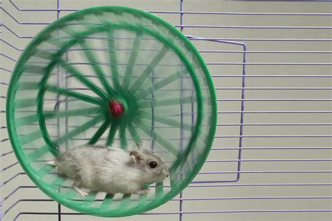 hamster wheel pandas archives a day in the of a warrior
