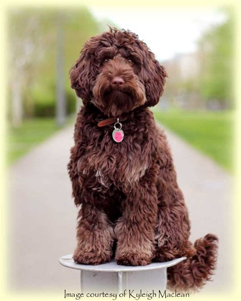 mini doodle edmonton miniature australian labradoodle litters for adoption