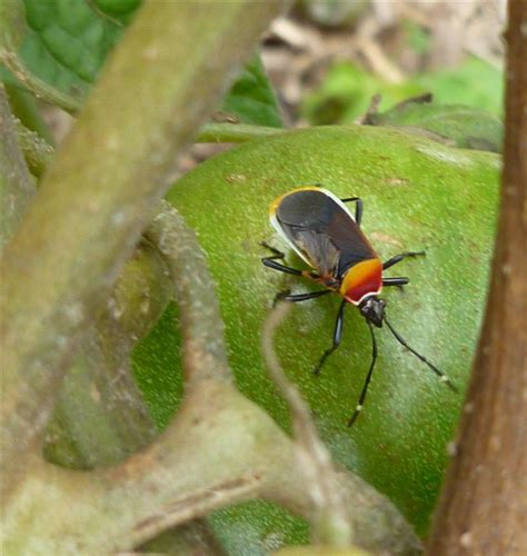 backyard insects the dreaded dindymus versicolour a year in a gippsland