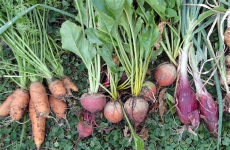 root vegetables root vegetables guide on growing