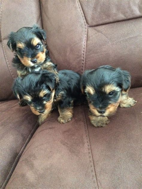 yorkie miniature puppies for sale terrier miniature puppies for sale peterborough cambridgeshire pets4homes