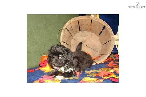 are yorkies born with tails yorkiepoo yorkie poo puppy for sale near joplin missouri 1cb74ae6 d6d1