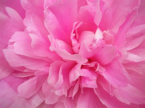 the pink peonies you love pink pink color do you love pink