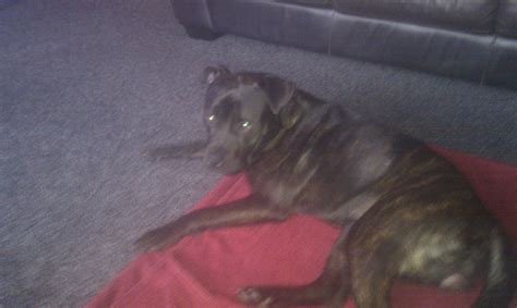 rottweiler staffy 9month staffy x rottweiler for sale sheffield south pets4homes